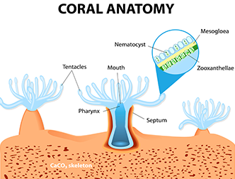 coral-anatomy